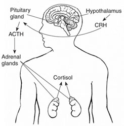 The hypothalamus sends CRH to the pituitary, which responds by secreting ACTH. ACTH then causes the adrenals to release cortisol into the bloodstream