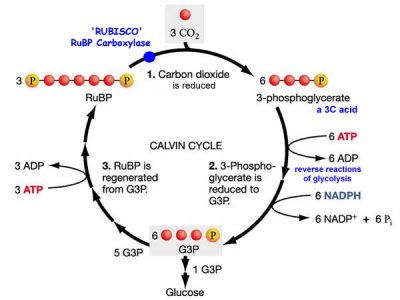 http://www.daviddarling.info/images/Calvin_cycle.jpg