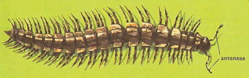 Polydesmus millipede