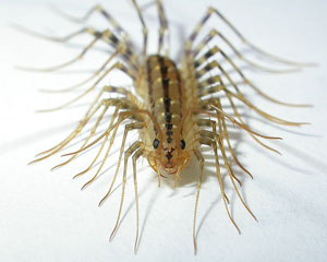 Millipede With Long Legs centipede