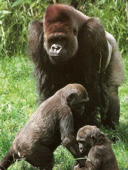 adult gorilla and young