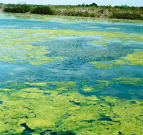 An algal bloom leaves a green scum-like substance on the waters of the Indian River Lagoon, Florida, in the mid-1990s