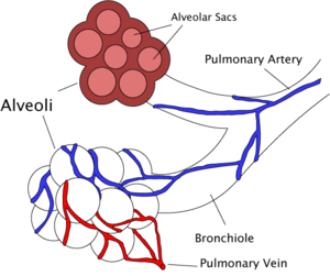 IGCSE Biology: 2.46 Explain how alveoli are adapted for gas exchange ...