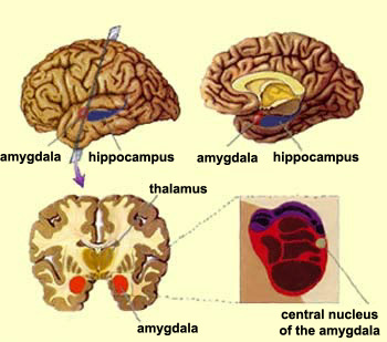 location of the amygdala within the brain