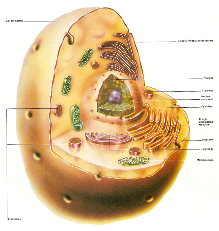 structure of a typical animal cell