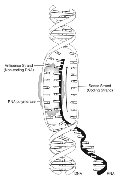 sense and antisense strands of DNA