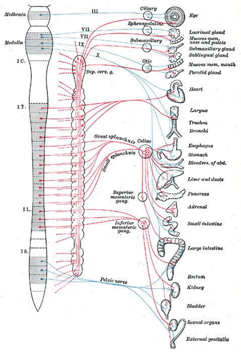 Human autonomic nervous system,              showing sympathetic nerve fibers and parasympathetic nerve fibers