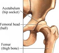 ball-and-socket joint, Human Body