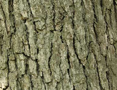 Bark of a white oak