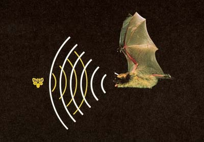 a bat finding its prey by echolocation