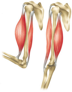 Biceps and triceps muscles in the upper arm  Left  biceps contracted    Triceps And Biceps Diagram