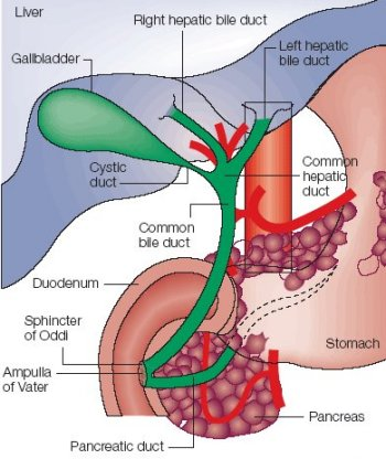 common bile duct anatomy. ile duct