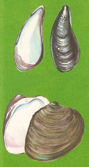 examples of bivalves