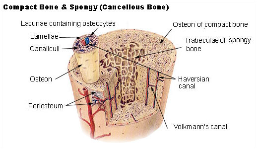 spongy and compact bone