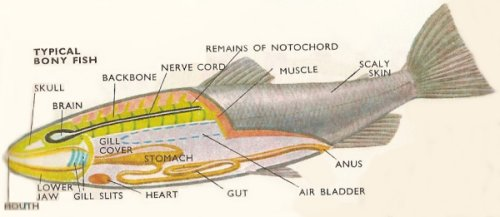 bony fish anatomy