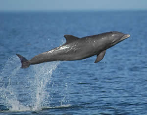 Bottlenose dolphin. Image credit: NOAA