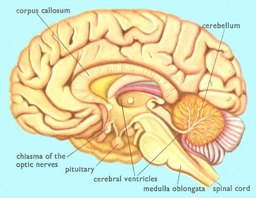 human brain, lateral cross-section