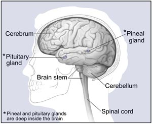 major parts of the brain