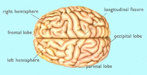 brain, seen from above