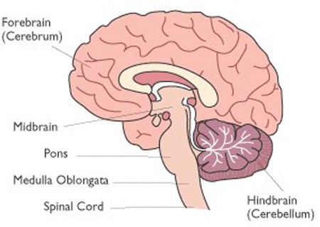 longitudinal cross-section of the brain