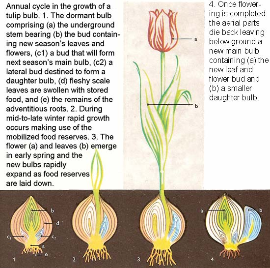annual cycle in the growth of a tulip bulb