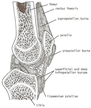 bursae related to the knee joint