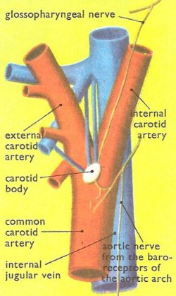 site of the carotid sinus and the carotid body