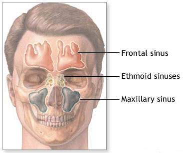 sinuses of the face