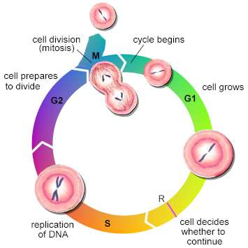 cell cycle g1