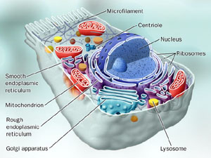 a typical eukaryotic cell