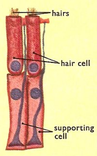 two hair cells and supporting cells in the organ of Corti
