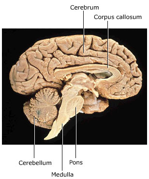 human brain, cross-section