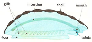 anatomy of a chiton