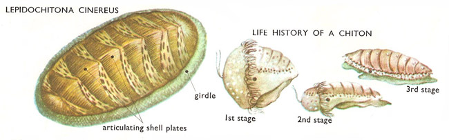 chiton and life cycle
