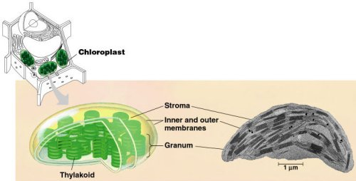 relationship between grana thylakoids and chloroplasts definition
