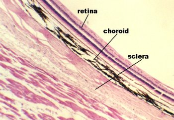 The three main layers of the vertebrate eye: retina,              choroid, and sclera
