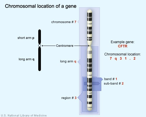 chromosomal location of a gene