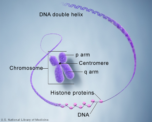DNA and histone proteins are packaged into structures called chromosomes