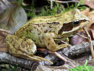 common European frog (Rana temporaria)