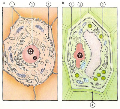 comparison of animal and plant cells