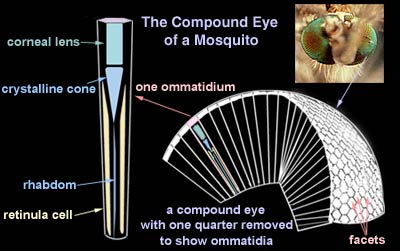 structure of a compound eye