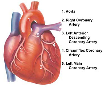 A labelled diagram of the human heart the coronary arteries the coronary arteries httpdaviddarlingfoimagescoronaryarteriesg ccuart Images