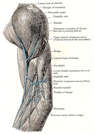 Anterior and Lateral Deltoid Muscle - Illustration@Science-Art.Com