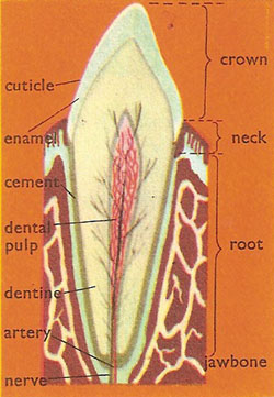 diagram_of_tooth teeth