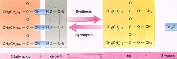 fat synthesis and hydrolysis