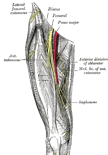 femoral_nerve, Muscles