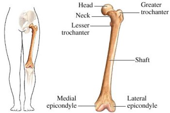 femur, Human Body