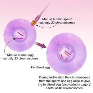fertilization leading to a zygote