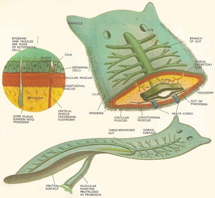 Paraziták tulajdonságai. A paraziták tulajdonságai Élősködő – Wikipédia