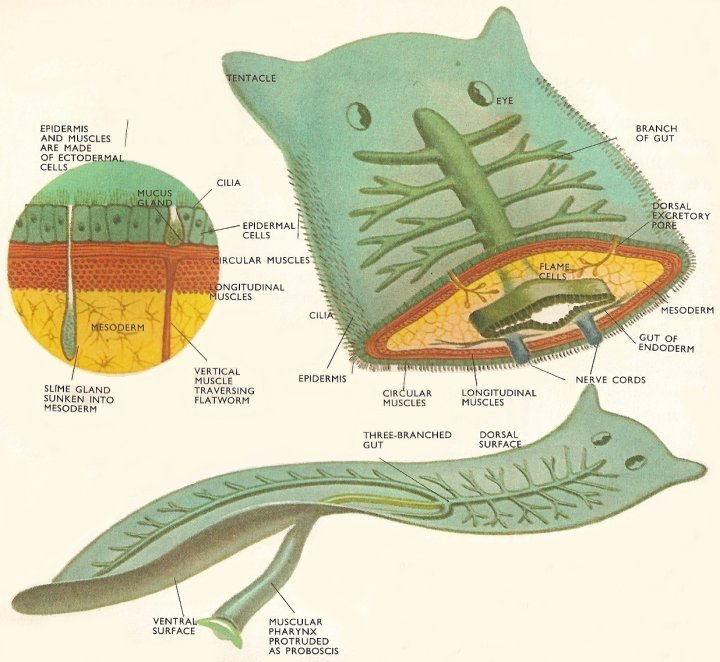 platyhelminthes habitat turbellaria)